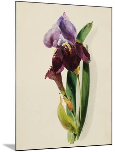 A Flag Iris-Thomas Holland-Mounted Giclee Print