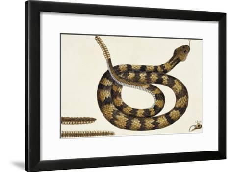 Viper Caudison Snake (Rattlesnake)-Mark Catesby-Framed Art Print