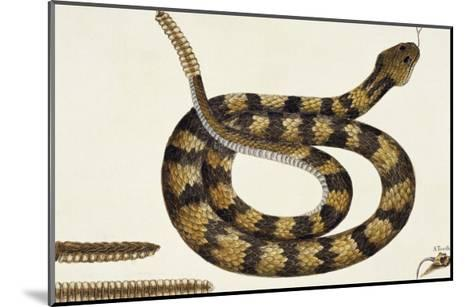 Viper Caudison Snake (Rattlesnake)-Mark Catesby-Mounted Giclee Print