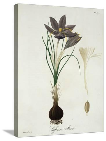 """Saffron Crocus from """"Phytographie Medicale"""" by Joseph Roques, Published in 1821-L.f.j. Hoquart-Stretched Canvas Print"""