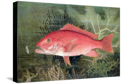 """Red Snapper, from """"Game Fishes of the United States,"""" Published 1878-S.a. Kilbourne-Stretched Canvas Print"""