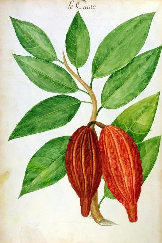 Cacao, from a Manuscript on Plants and Civilization in the Antilles, circa 1686-Charles Plumier-Stretched Canvas Print