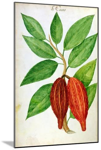 Cacao, from a Manuscript on Plants and Civilization in the Antilles, circa 1686-Charles Plumier-Mounted Giclee Print