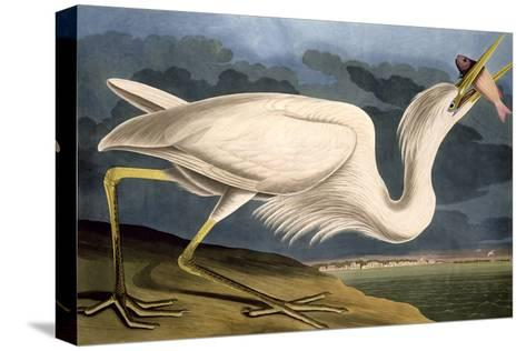 "Great White Heron from ""Birds of America""-John James Audubon-Stretched Canvas Print"