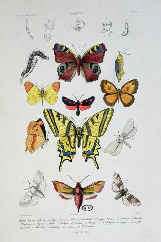 """Various Butterflies from """"Dictionnaire Elementaire D'Histoire Naturelle""""-A. Baron-Stretched Canvas Print"""