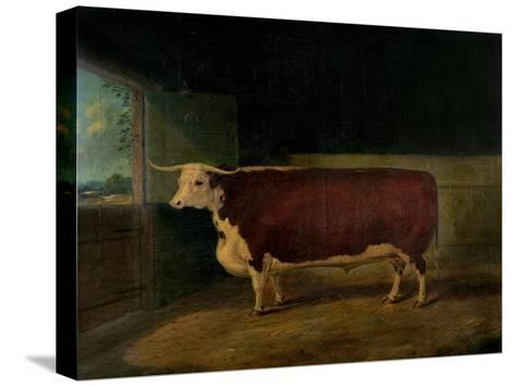 Portrait of a Prize Hereford Steer, 1874-Richard Whitford-Stretched Canvas Print