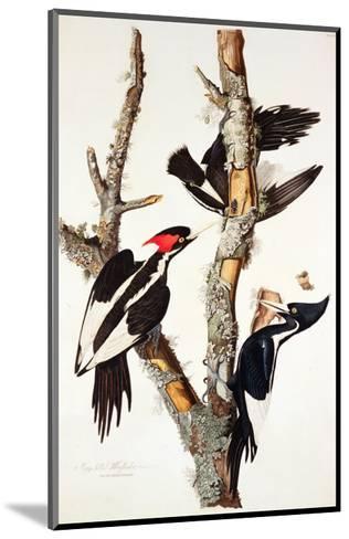 Ivory-Billed Woodpecker, 1829-John James Audubon-Mounted Giclee Print