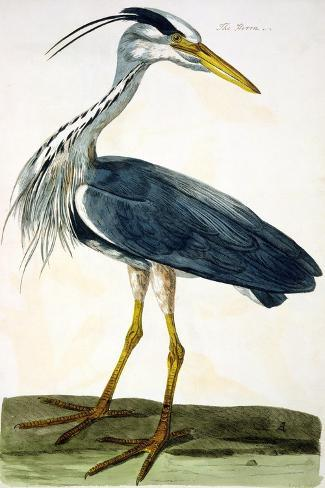 """The Heron Plate from """"The British Zoology Class II: Birds""""-Peter Paillou-Stretched Canvas Print"""