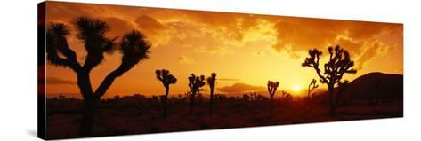 Sunset, Joshua Tree Park, California, USA--Stretched Canvas Print