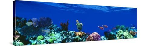 Underwater, Caribbean Sea--Stretched Canvas Print