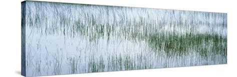 Reed Filled Pond, Isle of Mull, Scotland, United Kingdom--Stretched Canvas Print
