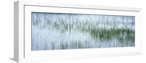 Reed Filled Pond, Isle of Mull, Scotland, United Kingdom--Framed Art Print