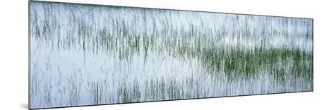 Reed Filled Pond, Isle of Mull, Scotland, United Kingdom--Mounted Photographic Print