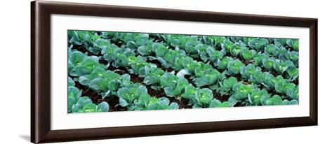 Cabbage, Yamhill Co, Oregon, USA--Framed Art Print