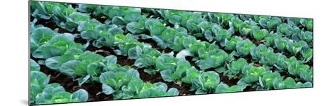 Cabbage, Yamhill Co, Oregon, USA--Mounted Photographic Print