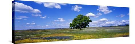 Single Tree in Field of Wildflowers, Table Mountain, Oroville, California, USA--Stretched Canvas Print