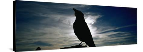 Silhouette of a Raven at Dusk, Yellowstone National Park, Wyoming, USA (Corvus Corax)--Stretched Canvas Print
