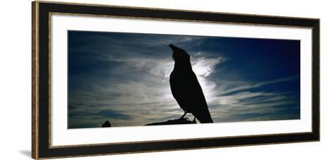 Silhouette of a Raven at Dusk, Yellowstone National Park, Wyoming, USA (Corvus Corax)--Framed Art Print