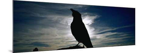 Silhouette of a Raven at Dusk, Yellowstone National Park, Wyoming, USA (Corvus Corax)--Mounted Photographic Print