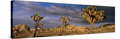 Joshua Tree National Park, California, USA--Stretched Canvas Print