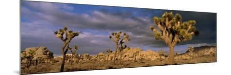 Joshua Tree National Park, California, USA--Mounted Photographic Print