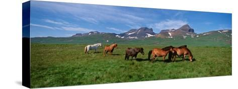 Horses Standing and Grazing in a Meadow, Borgarfjordur, Iceland--Stretched Canvas Print
