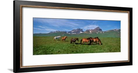 Horses Standing and Grazing in a Meadow, Borgarfjordur, Iceland--Framed Art Print