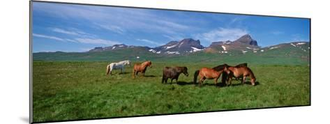 Horses Standing and Grazing in a Meadow, Borgarfjordur, Iceland--Mounted Photographic Print