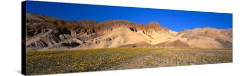 Wild Flowers Grown in the Valley, Death Valley National Park, Nevada, California, USA--Stretched Canvas Print