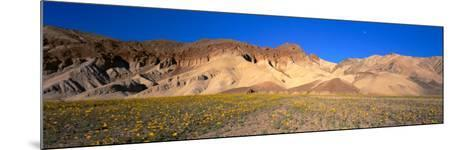 Wild Flowers Grown in the Valley, Death Valley National Park, Nevada, California, USA--Mounted Photographic Print