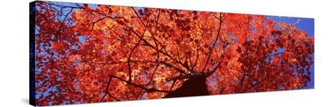 Low Angle View of a Maple Tree, Acadia National Park, Mount Desert Island, Maine, USA--Stretched Canvas Print