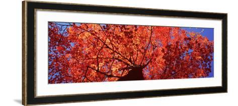 Low Angle View of a Maple Tree, Acadia National Park, Mount Desert Island, Maine, USA--Framed Art Print