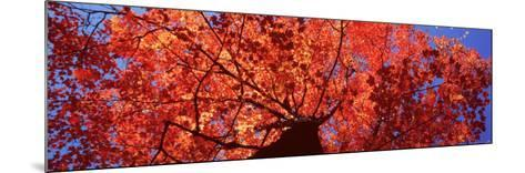 Low Angle View of a Maple Tree, Acadia National Park, Mount Desert Island, Maine, USA--Mounted Photographic Print
