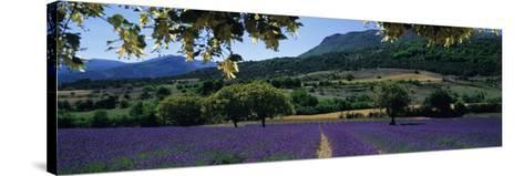 Mountain Behind a Lavender Field, Provence, France--Stretched Canvas Print