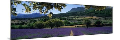 Mountain Behind a Lavender Field, Provence, France--Mounted Photographic Print
