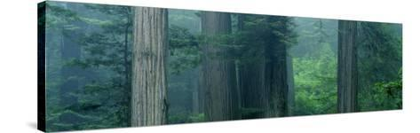 Trees in a Forest, Redwood National Park, California, USA--Stretched Canvas Print