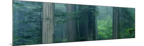 Trees in a Forest, Redwood National Park, California, USA--Mounted Photographic Print