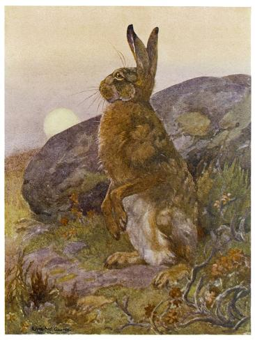 Lepus Europaeus a Hare Sits up on Its Back Legs-Winifred Austen-Stretched Canvas Print