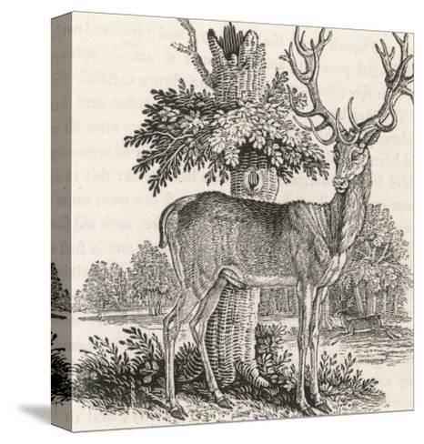 The Stag or Red-Deer (Cervus Elephas) This is the Most Beautiful Animal of the Deer Kind-Thomas Bewick-Stretched Canvas Print