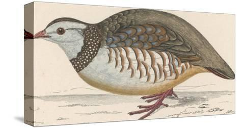 Barbary Partridge-Reverend Francis O^ Morris-Stretched Canvas Print