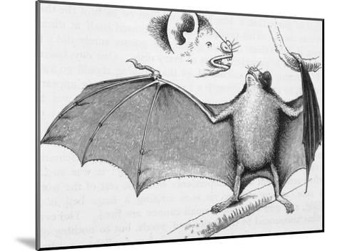 Vampire Bat (Desmodus d'Orbignyi) Caught at the Back of Darwin's House in Chile South America-R^t^ Pritchett-Mounted Giclee Print