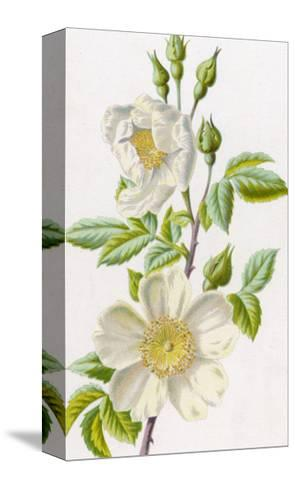 White Field Rose--Stretched Canvas Print