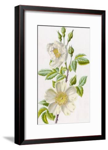 White Field Rose--Framed Art Print