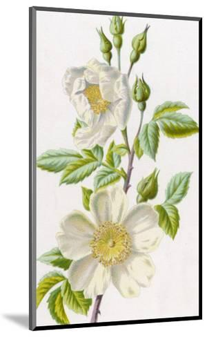 White Field Rose--Mounted Giclee Print