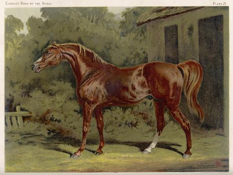 """Great-Grandson of """"Darley Arabian"""" Raced 1769-1770 in 18 Races All of Which He Won--Stretched Canvas Print"""