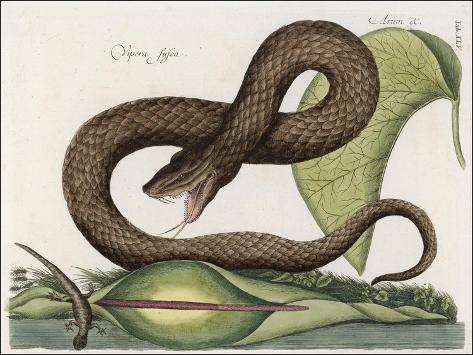 Vipera Fusca a Vicious Viper--Stretched Canvas Print