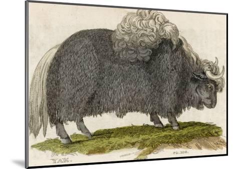 Yak--Mounted Giclee Print