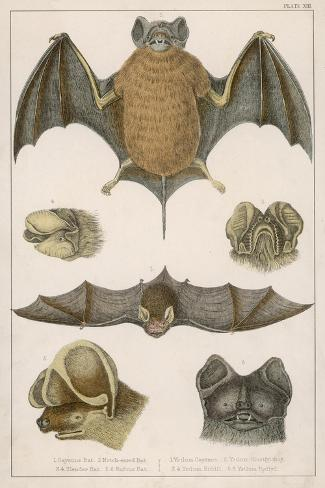 Various Species of Bat--Stretched Canvas Print
