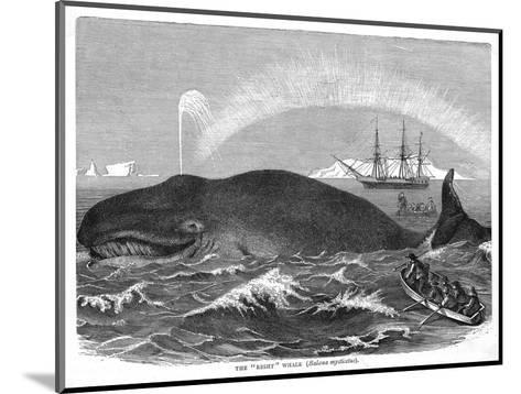 """A """"Right"""" Whale--Mounted Giclee Print"""