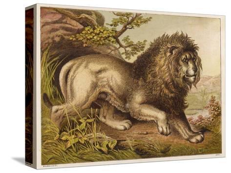 Fierce-Looking Lion from the Atlas Mountains of North Africa--Stretched Canvas Print